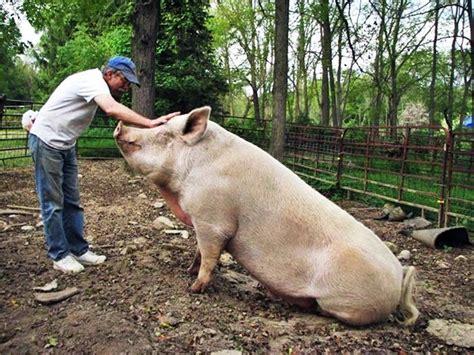 Animal Farm Pig 700 pound pet farm pig nothing but pigs