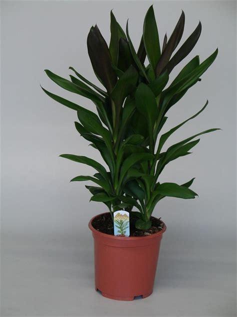 tall house plants arnott mason plant groups house plants tropical plants