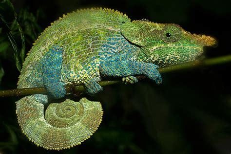 cameleon changing colors horned chameleon gif crane photography