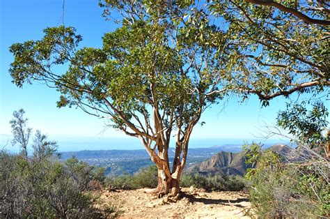eucalyptus trees image gallery eucalyptus tree