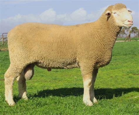 meet  sheep shipston wool fair
