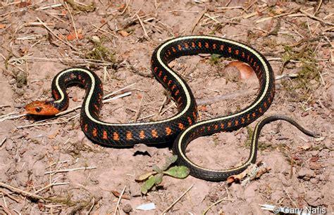 Garter Snake Oregon Spotted Garter Snake Page 2