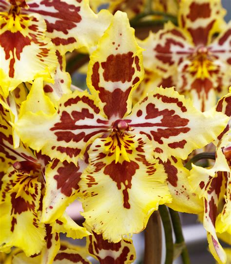 orchids facts 100 orchids facts a flower leelavadee