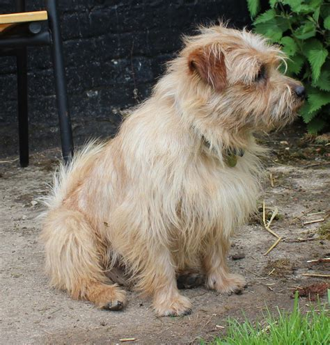 terrier breeds norfolk terrier puppies rescue pictures information temperament characteristics