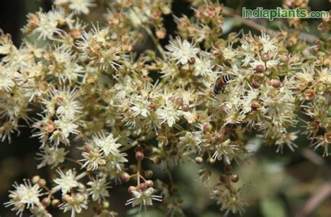 indiaplantscom plant details