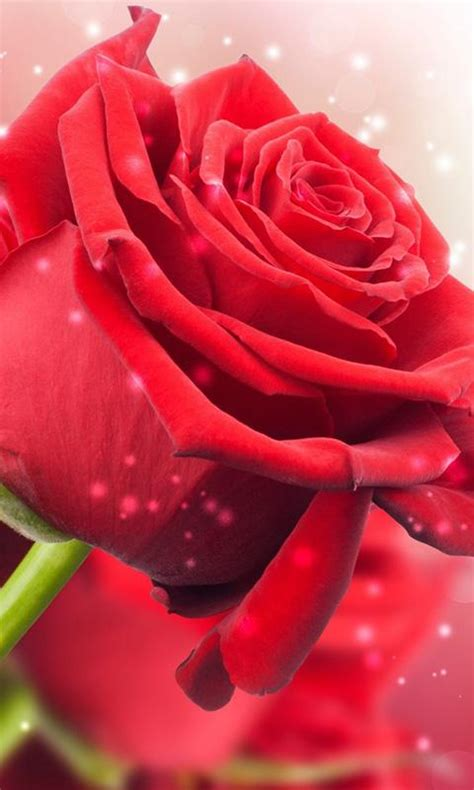 rose themes live red rose live wallpaper android apps on google play