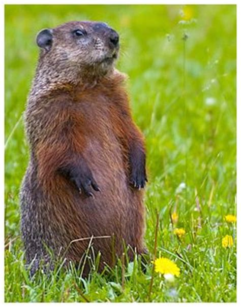 groundhog day weather report 1000 images about groundhogs on groundhog day