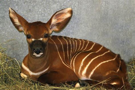 pictures of animals baby bongo