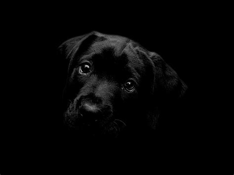 wallpaper black labrador black labrador wallpaper by cazcastalla on deviantart