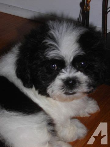 teddy puppies for sale in indiana reg ckc teddy shichon puppies new pups reserve one today for sale in
