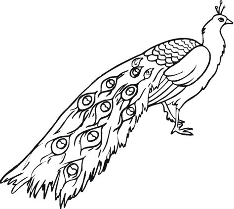 simple peacock coloring page simple peacock sketch clipart best