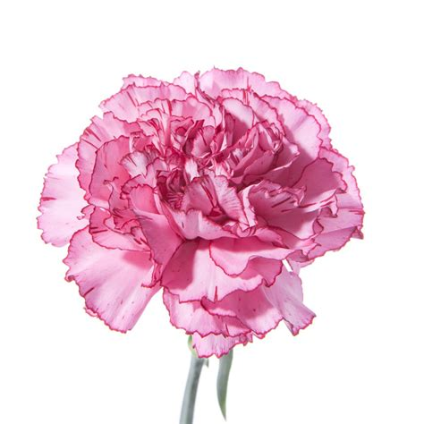 tow tone pink carnations flower muse