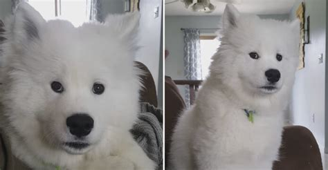 how much are samoyed puppies marshmallow samoyed puppy gently tells his human to stop all that whistling heroviral