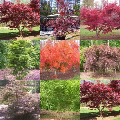 japanese maple tree colors inspiration for my creativity pinterest