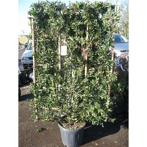 evergreen climbing plants for containers callistemon laevis bottlebrush frame 100cm x 150cm 30ltr
