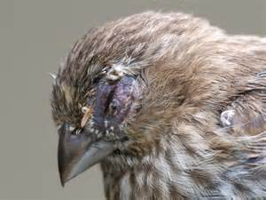 martin eye problem house finches with severe eye infections graphic photos