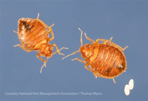 Do Female Bed Bugs Need A Male To Reproduce