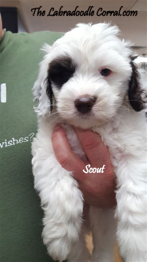 puppy corral labradoodle corral s scout the labradoodle corral wisconsin