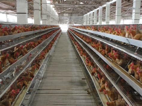 Alas Lantai Kandang Ayam kawat kandang ayam petelur