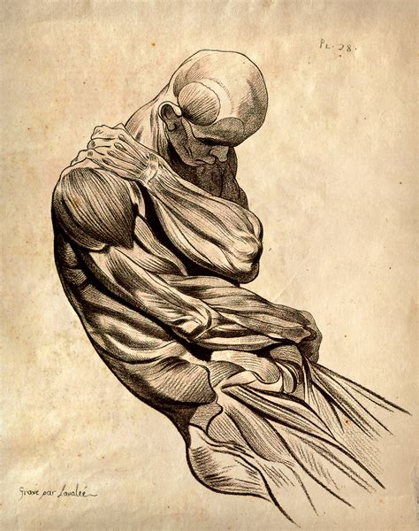 Drawing Human Anatomy by Desktop Wallpapers Human Anatomy And Structure Of Living