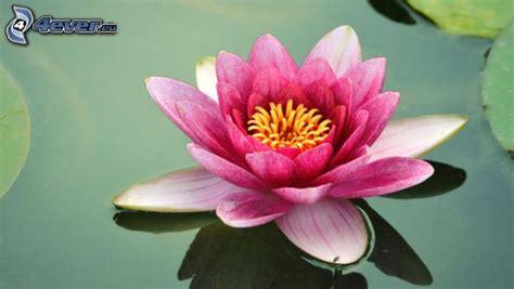 immagini fior di loto fiore di loto
