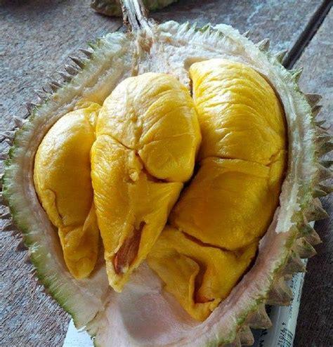 durian musang king bibit durian musang king budidaya