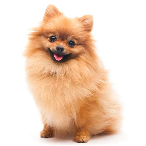 picture of pomeranian pomeranian pomeranian pet insurance breed info