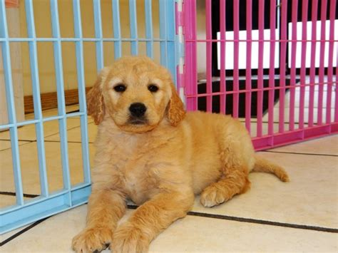 purebred golden retriever puppies near me purebred golden retriever puppies for sale in photo
