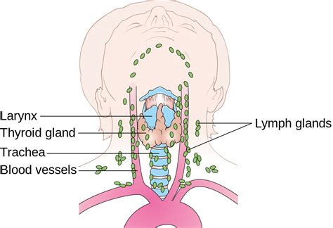 lymph nodes diagram file diagram showing the position of the lymph nodes in