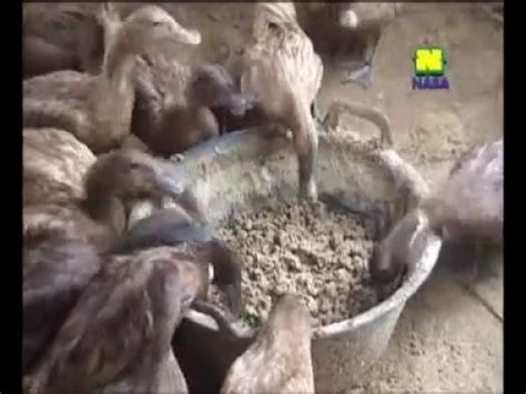 Dod Bebek Hibrida Jombang selamat pagi trans7 14 maret 2015 ternak itik alabio