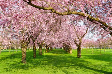 cherry tree unripe scenic park with blossoming trees stock photo image of alley park 51029098