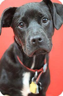 yorkie pitbull mix puppies centerville ga yorkie terrier american pit bull terrier mix meet oliver