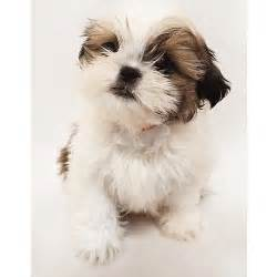 shih tzu png small and large breeds from cerified breeders teacup pups