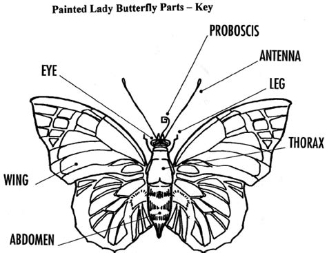 butterfly parts diagram