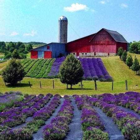 when is lavender in season in michigan lavender hill farm boyne city all you need to know
