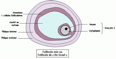 Cellule reproductrice femelle definition of marriage