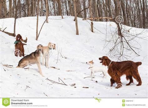 irish setter dog walker five dogs meeting stock photography image 34931612