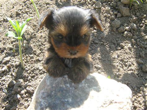 kleine hunde pin chihuahua kleine hunderassen mit bild auf hunde in not