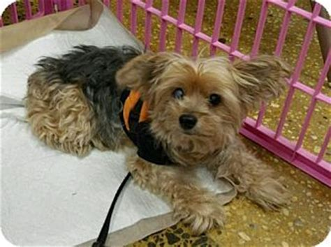 shih tzu furbaby rescue crompond ny 1000 ideas about terrier rescue on yorkie terrier rescue and