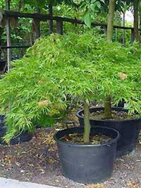 acer palmatum dissectum gr 252 ner schlitz ahorn f 228 cher - Garten Schlitz