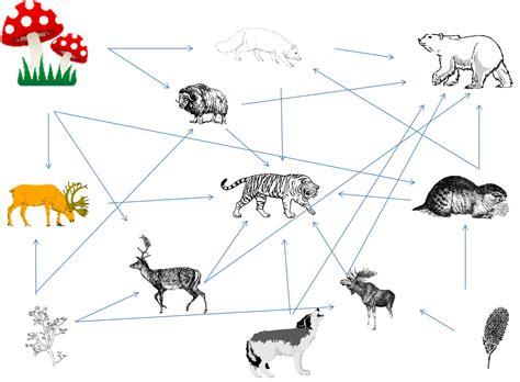 animal food chain diagram black panther food web diagram imageresizertool