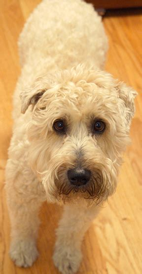 soft coated wheaten terrier puppies for adoption wheaten terriers for adoption breeds picture