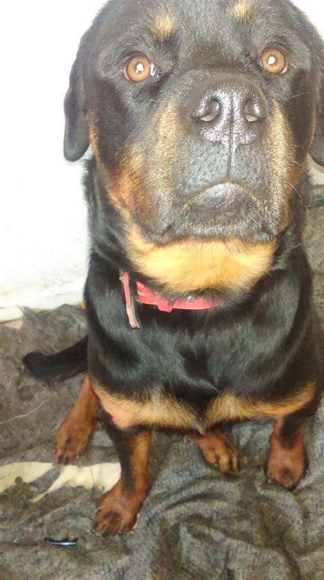 rottweilers for sale in louisiana pedagree rottweiler for sale ashby de la zouch leicestershire pets4homes