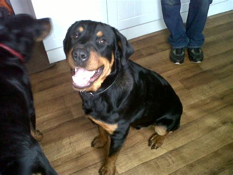 rottweiler for sale rottweiler for sale barnsley south pets4homes