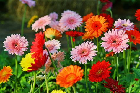 gerbera colors all you need to about growing gerbera daisies