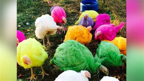 colored turkeys colored turkeys the hit of connecticut turkey farm yahoo