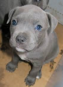 my next puppy grau blau and hunde on