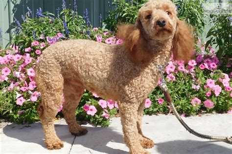 mini goldendoodle indiana goldendoodle puppy for sale near south bend michiana