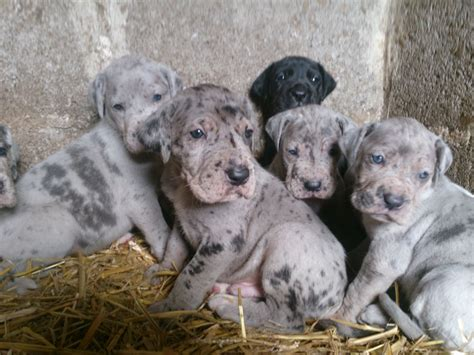 daniff puppies for sale blue daniff for sale breeds picture