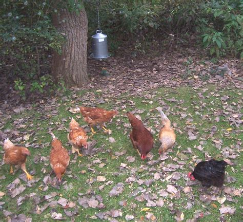 raising backyard chickens quotes about raising chickens quotesgram